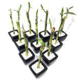 10x Vasinhos com Bambu da Sorte com Tag (Lucky Bamboo) - Relaxar e meditar