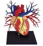 Anatomia do Coração Deluxe - 4d master