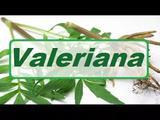 Capsula Valeriana 250mg - 60caps - Florien