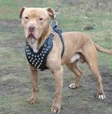 Coleira Peitoral Couro Spikes Pitbull Bulldog Ingles American bully - Pet import