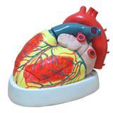Coração Ampliado c/ 3 partes - Anatomic