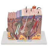 Corte de Pele em Bloco Modelo Anatomia - Sdorf