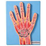 Secção Mediana da Articulação da Mão - Anatomic