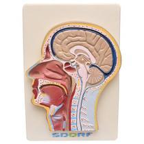 Cabeça Humana com Secção Mediana Modelo Anatomia - Sdorf