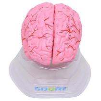 Cérebro Humano com Artérias em Tamanho Natural 8 Pts - Sdorf