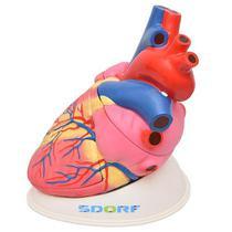 Coração Humano Ampliado 3,5x Tam. Natural em 3 Pts - Sdorf