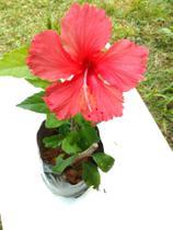 Hibisco vermelho - Horto Ravenala