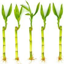 Kit com 5 Hastes de Bambu da Sorte (Pequeno) - Relaxar E Meditar