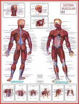 Mapa Do Corpo Humano Sistema Muscular Anatomia 120x 90cm - Spmix