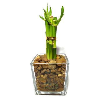 Vaso de Vidro com Seis Mudas de Bambu da Sorte (Médio) - Relaxar e meditar