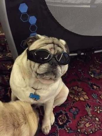e6596f13e8fcd Oculos De Sol Para Cães Com Proteçao Uv - Pet import - Roupa e ...